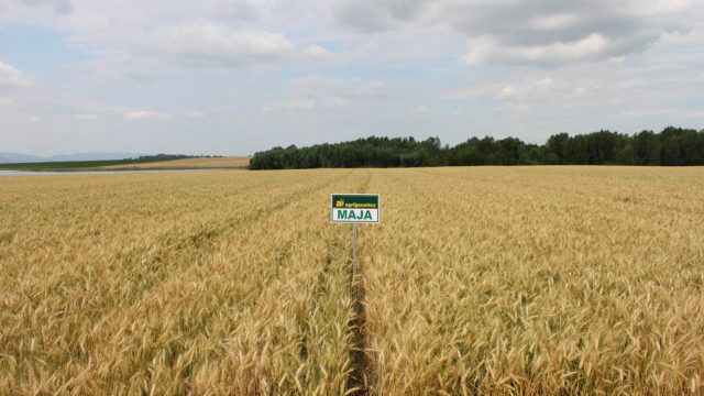 pšenica Maja