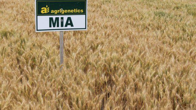 pšenica Mia