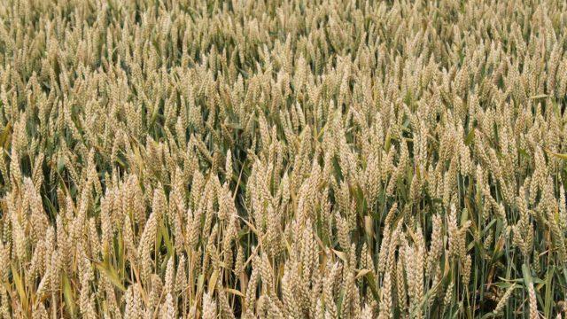 pšenica Viktoria