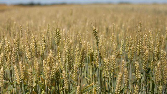 pšenica basmati