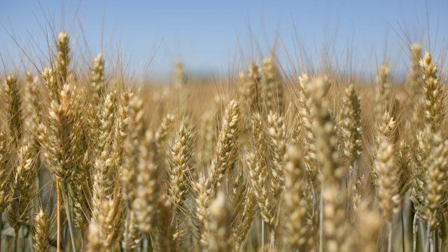 pšenica forcali
