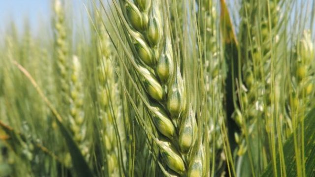 pšenica silvija