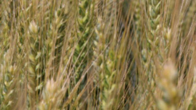 pšenica somtuoso